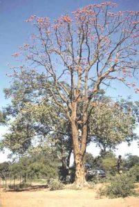 Erythrina livingstoniana. Photo: Darrol Plowes. Source: Flora of Zimbabwe