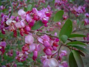 Securidaca longepedunculata flowers. Photo: Bart Wursten. Source: Flora of Zimbabwe