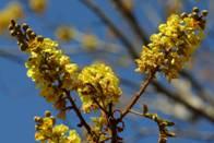 Peltophorum africanum. Photo: Bart Wursten. Source: Flora of Zimbabwe.