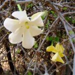 Gardenia volkensii flowers. Photo: Bart Wursten. Source: Flora of Zimbabwe
