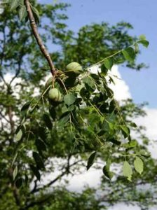 Schlerocarya birrea subsp. caffra. Photo: Bart Wursten. Source: Flora of Zimbabwe