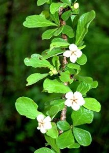 Catunaregam spinosa in flower. Photo: Stefaan Dondeyne. Source: Flora of Zimbabwe