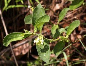 Rothmannia fischeri, Photo: Meg Coates Palgrave. Source: Flora of Zimbabwe