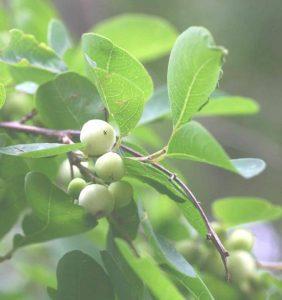 Securinega virosa, Photo: Bart Wursten. Source: Flora of Zimbabw