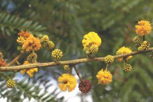 Acacia amethothophylla . Photo: Bart Wursten. Source: Flora of Zimbabwe