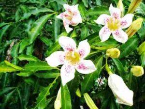 Rothmannia manganjae flowers. Photo: Mark Hyde. Source: Flora of Zimbabwe