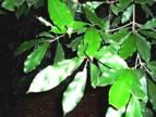 Mascarenhasia arboresens. Photo: Bart Wursten. Source: Flora of Zimbabwe