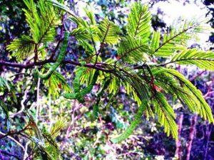 Newtonia buchananii,. Photo: Jos Stevens. Source: Flora of Zimbabwe