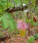 Dichrostachys cinerea. Photo: Bart Wursten. Source: Flora of Zimbabwe