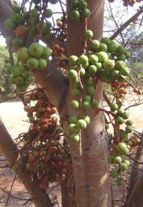Ficus sur. Photo: Batr Wursten. Source: Flora of Zimbabwe