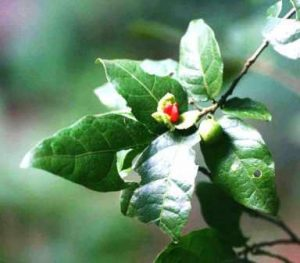 Tapura fischeri. Photo: Bart Wursten. Source: Flora of Zimbabwe