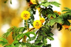 Acacia xanthophloea. Photo: Bart Wursten. Source: Flora of Zimbabwe