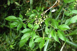 Vitex buchananii. Photo: Bart Wursten. Source: Flora of Zimbabwe
