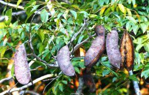 Erythrophloem sivaveolens. Photo: Bart Wursten. Source: Flora of Zimbabwe