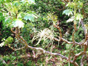 Cussonia arborea. Photo: Bart Wursten. Source: Flora of Zimbabwe