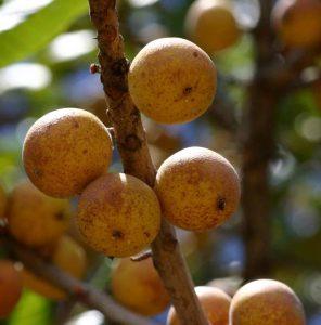 Uapaca kirkiana. Photo: Bart Wursten. Source: Flora of Zimbabwe