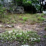 Leptactina benguelensis. Photo: Bart Wursten. Source: Flora of Zimbabwe