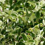 Tapiphyllum velutinum. Photo: Bart Wursten. Source: Flora of Zimbabwe .