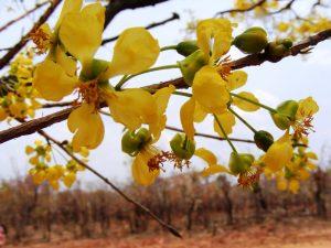 Ochna schweinfurthiana. Photo; Mike Bingham. Source: Flora of Zimbabwe