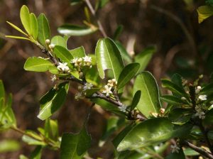 Erythroxylum emarginatum . Photo: Bart Wursten. Source: Flora of Zimbabwe