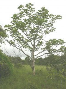 Sterculia quinqueloba. Photo: Bart Wursten. Source: Flora of Zimbabwe.