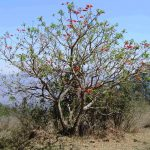 Erythrina caffra. Photo: Bart Wursten. Source: Flora of Zimbabwe