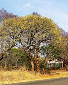 Lannea discolor. Photo: Meg Coates Palgrave. Source: Flora of Zimbabwe