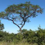 Pterocarpus angolensis. Source: Plantinfo