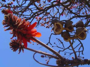 Erythrina latissima. Photo: Bart Wursten. Source: Flora of Zimbabwe