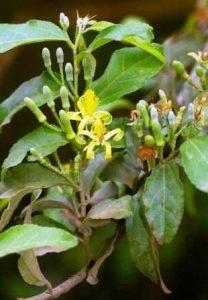Grewia flavescens var. flavescens. Photo: Bart Wursten. Source: Flora of Zimbabwe