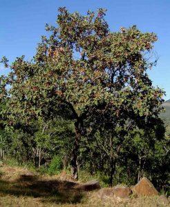Combretum molle. Photo: Bart Wursten. Source: Flora of Zimbabwe