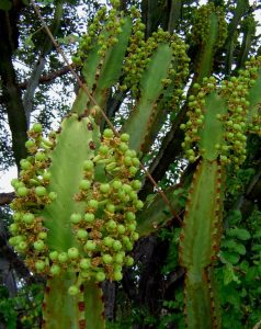 Euphorbia ingens. Photo: Bart Wursten. Source: Flora of Zimbabwe
