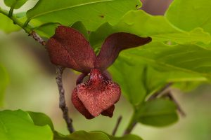 Monodora junodii . Photo: Bart Wursten. Source: Flora of Zimbabwe
