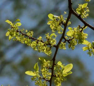 Margaritaria discoidea. Photo: Bart Wursten. Source: Flora of Zimbabwe