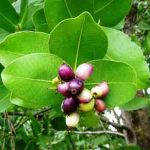 Syzygium cordatum. Photo: Mark Hyde. Source: Flora of Zimbabwe