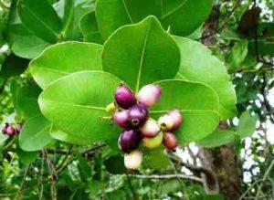Syzygium cordatum. Photo: Mark Hyde. Source: Flora of Zimbabwe