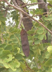 Erythrophleum africanum. Photo: Bart Wursten. Source: Flora of Zimbabwe.