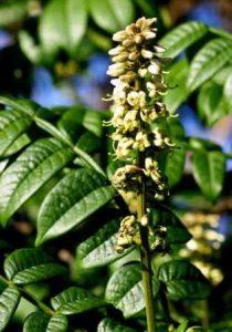 Bersama abyssinica. Photo: Bart Wursten. Source: Flora of Zimbabwe