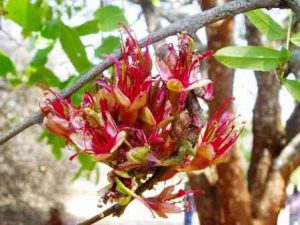 Schotia brachypetala. Photo: Mark Hyde. Source: Flora of Zimbabwe