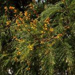 Acacia amythethophylla. Photo: bart Wursten. Source: Flora of Zimbabwe.