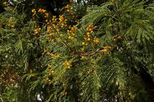 Acacia amythethophylla. Photo: bart Wursten. Source: Flora of Zimbabwe.