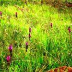 Disa versicolor. Photo: Bart Wursten. Source: Flora of Zimbabwe