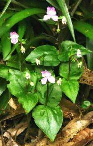 Disperis dicerochila. Photo: Bart Wursten. Source: Flora of Zimbabwe