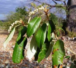 Croton gratissimus. Photo: Bart Wursten. Source: Flora of Zimbabwe