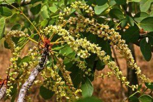 Burkea africana. Photo: Meg Coates Palgrave. Source: Flora of Zimbabwe