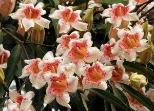 Rothmania manganjae. Photo: Bart Wursten. Source: Flora of Zimbabwe