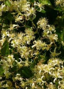 Clematis brachiata. Photo: Bart Wursten. Source: Flora of Zimbabwe