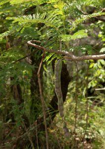 Elephantorrhiza goetzei. Photo: Bart Wursten. Source: Flora of Zimbabwe.