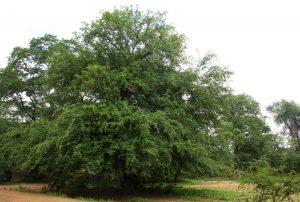 Pterocarpus lucens. Photo: Bart Wursten. Source: Flora of Zimbabwe
