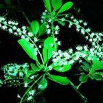Terminalia prunioides flowers